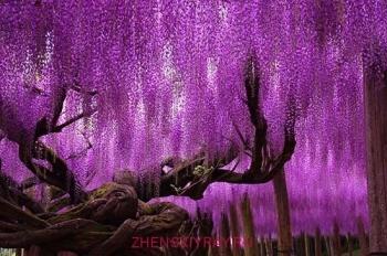 11 лет цветет глициния парк Японии Асикага