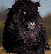 черный лев -существует ли