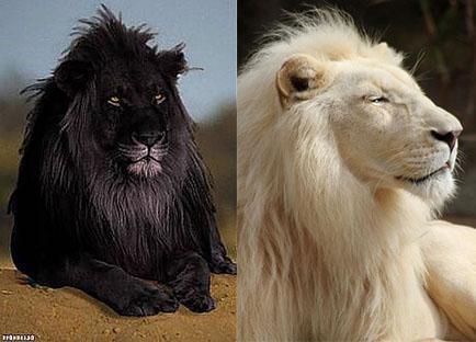 черный лев и альбинос