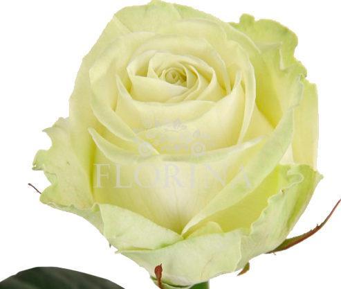 аваланж сорта роз