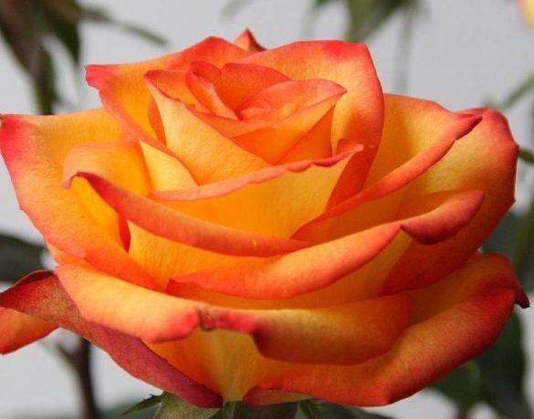 сорта роза хай мэджик