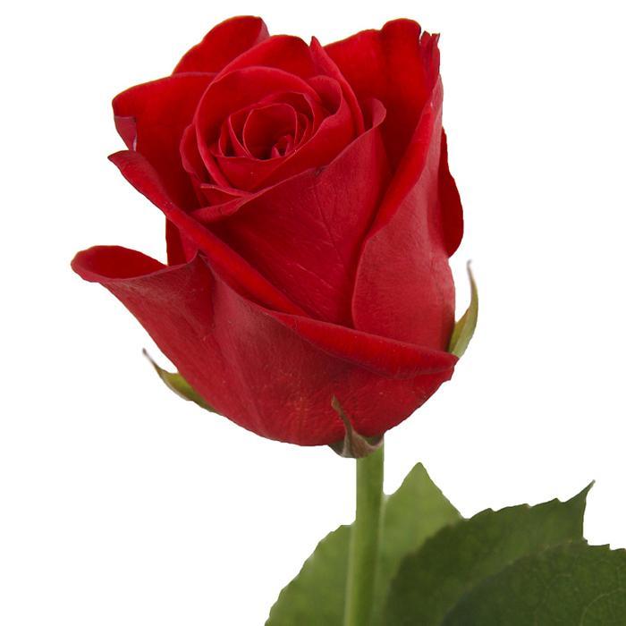 фридом сорт роз