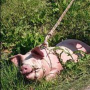 свиней ловили и резали на улице